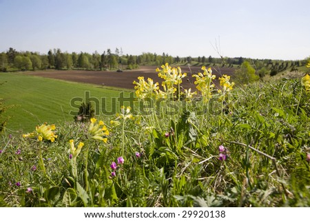 Cowslips on a summer meadow - stock photo