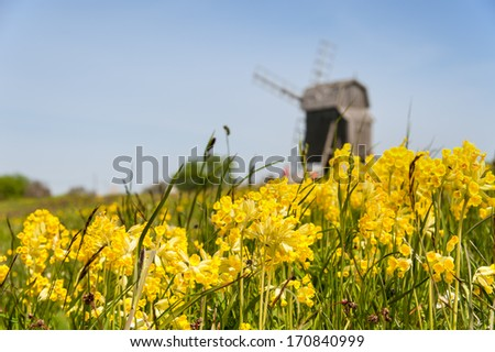 Cowslips (Primula veris) on a meadow on the swedish island of Oeland in may . In the background one of the typical small windmills of post mill type. - stock photo