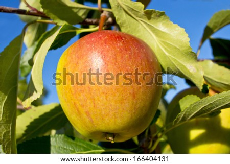Cox's Orange Pippin apple ripening on a tree branch. - stock photo
