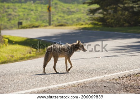 coyote alone on a deserted street - stock photo