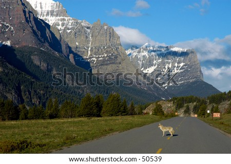 Coyote at Glacier NP
