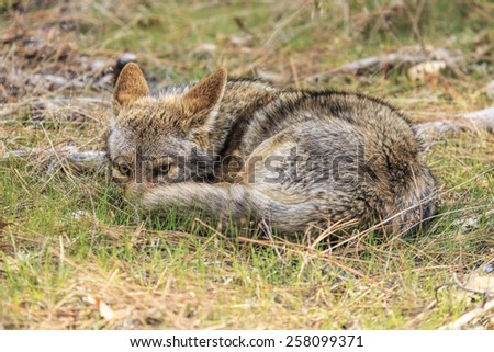 Coyote Aware - stock photo