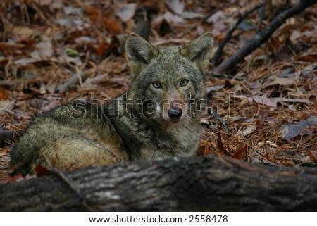 Coyote behind fallen tree - stock photo