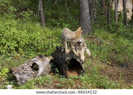 Coyote brothers playing on a log - stock photo
