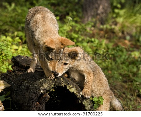 Coyote Buddies - stock photo