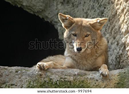 Coyote (Canis latrans) - stock photo