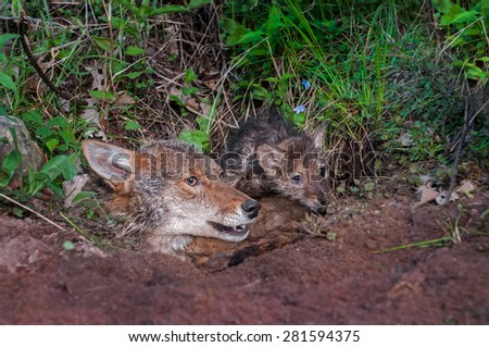 Coyote (Canis latrans) and Pup Stick Heads out of Den - captive animal - stock photo