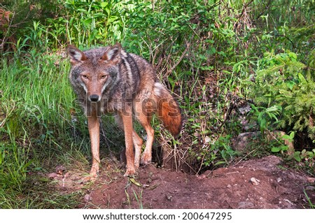 Coyote (Canis latrans) Climbs Out of Den - captive animal - stock photo