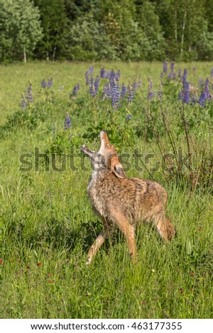 Coyote (Canis latrans) Howls in Field - captive animal