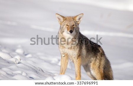 Coyote (Canis latrans) in a large snow covered field photographed in the late fall. Photographed in Yellowstone National Park. - stock photo