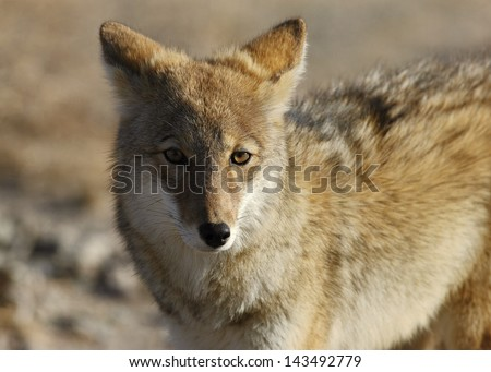 Coyote (Canis latrans) in Death Valley National Park, California, USA. - stock photo