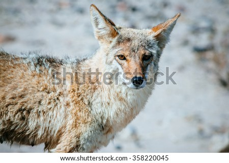 Coyote (Canis latrans) in Death Valley National Park, USA - stock photo