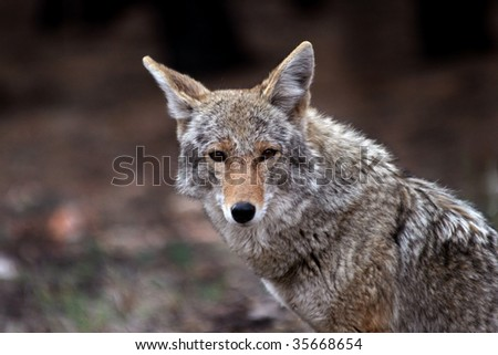 Coyote (Canis latrans) in the wild, but showing little fear of humans - stock photo