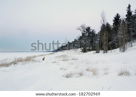 Coyote (Canis latrans) on Snow Covered Lake Huron Beach - Grand Bend, Ontario, Canada - stock photo