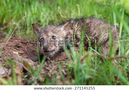 Coyote (Canis latrans) Pup in the Dirt - captive animal - stock photo