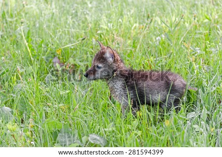 Coyote (Canis latrans) Pup Stands in Grassy Field - captive animal - stock photo