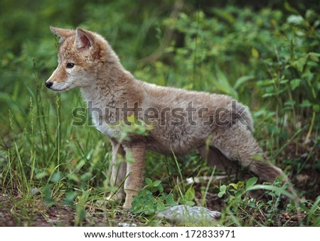 Coyote (Canis Latrans) Puppy - stock photo