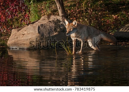 Coyote (Canis latrans) Stretches Out to Rock - captive animal