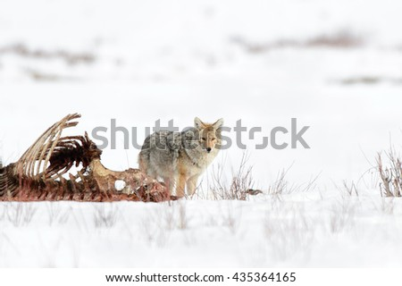 Coyote (Canis latrans) with Bison Carcass - stock photo