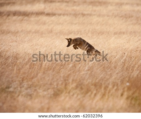 Coyote during fall season - stock photo