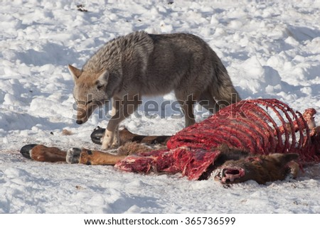 Coyote eating from a dead animal - stock photo
