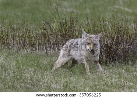 Coyote Eating Vole in Banff National Park, Alberta, Canada - stock photo