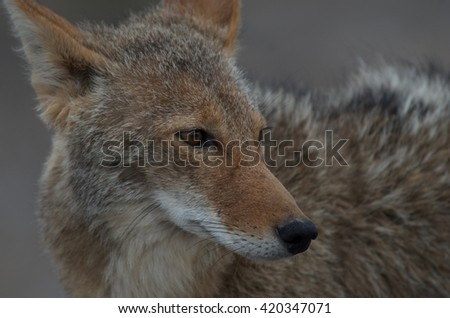 Coyote Face