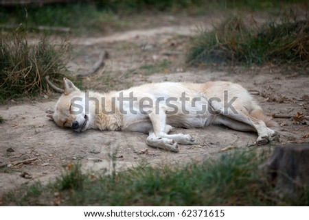 coyote fallen asleep against natural background - stock photo