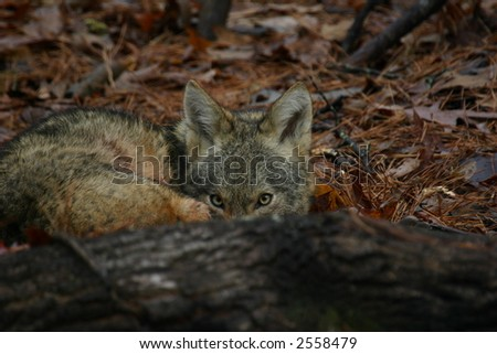 Coyote hiding behind fallen tree - stock photo