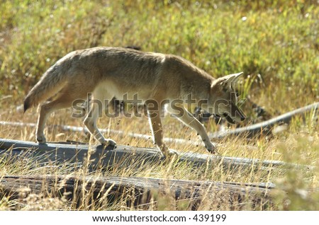 Coyote hunting for mice - stock photo