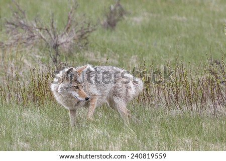 Coyote Hunting in Banff National Park - stock photo
