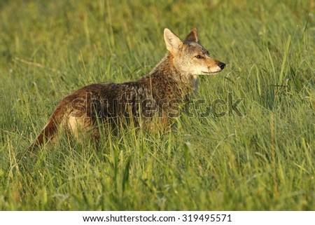 Coyote in a field - stock photo