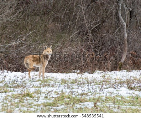 Coyote in a thicket looking for the prey that got away.