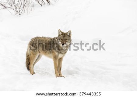 Coyote in a winter scene - stock photo