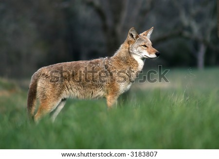 Coyote in Cades Cove. Great Smoky Mountains National Park - stock photo