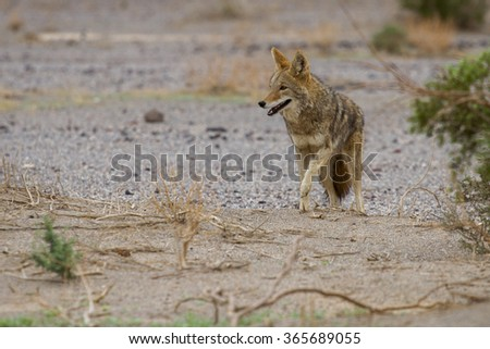 Coyote in Death Valley national park - stock photo