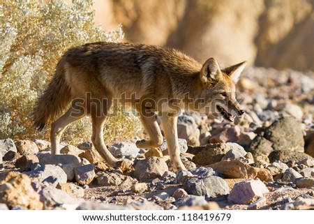 Coyote In Death Valley National Park California - stock photo