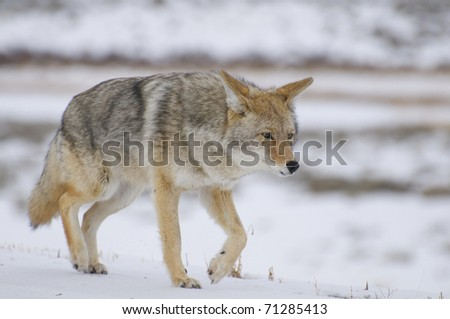 Coyote in deep snow at Yellowstone National Park - stock photo
