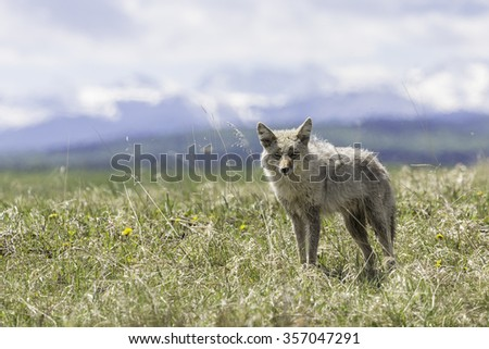 Coyote in Field near Rocky Mountains