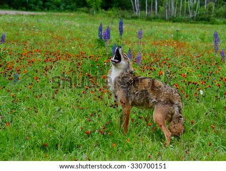 Coyote in field of wildflowers howling with head thrown back. - stock photo