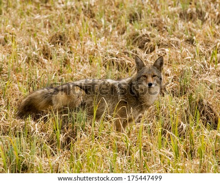 Coyote in grass - stock photo