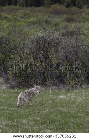 Coyote in Meadow in Banff National Park, Alberta, Canada - stock photo