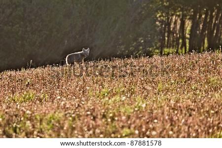 Coyote in Meadow Saskatcheaw Canada - stock photo