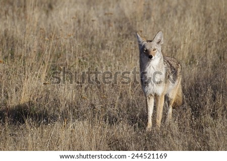 Coyote in prairie grassland habitat Great Plains CRP land environment & Conservation Reserve Program Western United States America - stock photo