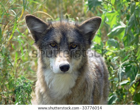 Coyote In Tall Grass - stock photo