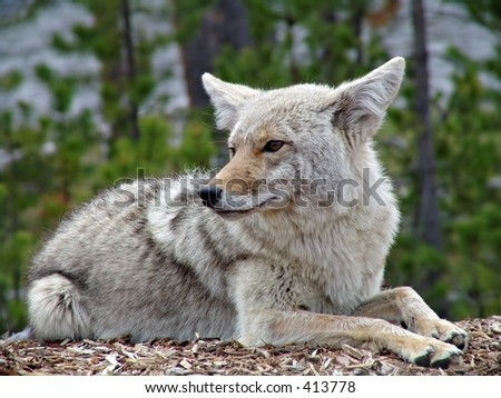 coyote in yellowstone national park - stock photo