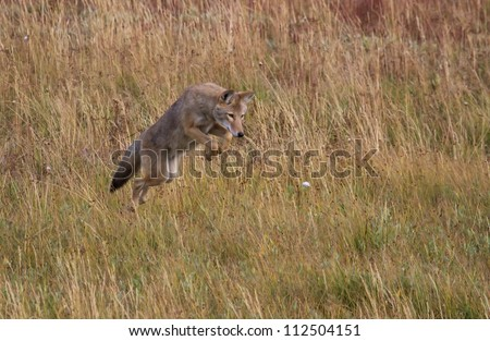Coyote jumping to catch a rodent - stock photo
