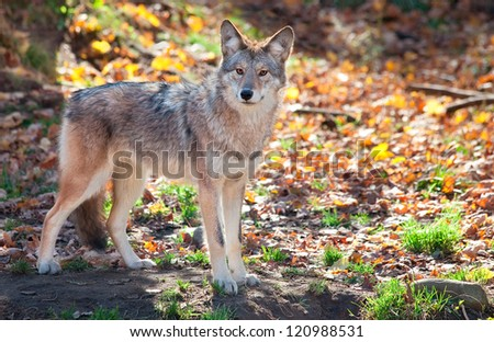 Coyote Looking at the Camera - stock photo