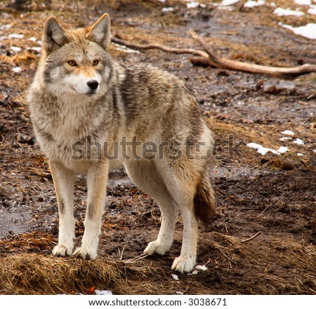 Coyote on a Spring Day - stock photo