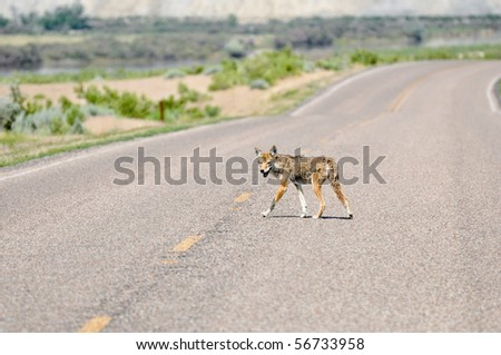 coyote on lonely highway - stock photo